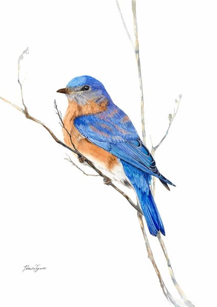 Missouri, The Eastern Bluebird