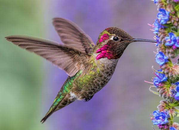 Anna's Hummingbird Delight