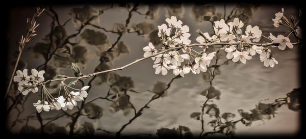 Cherry Blossoms - Branchbrook Park