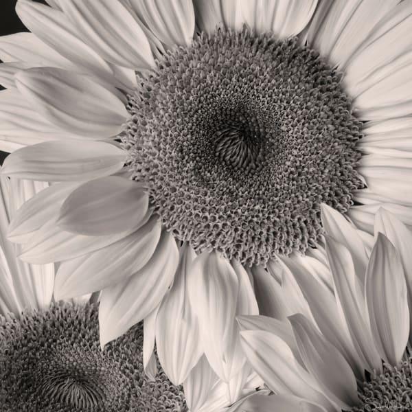 Sunflowers Art | Sondra Wampler | fine art