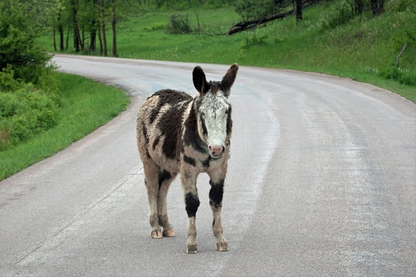 Donkey Toll Collector Art | DocSaundersPhotography