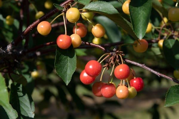Bundle of Young Cherries