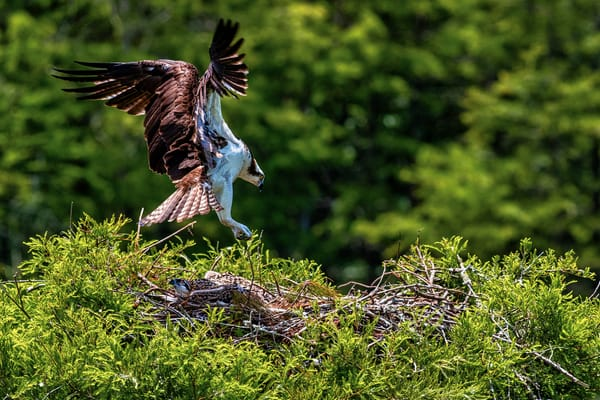 Mama Bird - Osprey fine-art photography prints