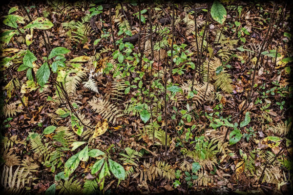 Ferns On A Forest Floor Photography Art | David Frank Photography