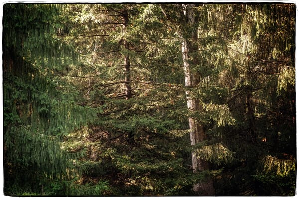 Pine Canopy Photography Art | David Frank Photography
