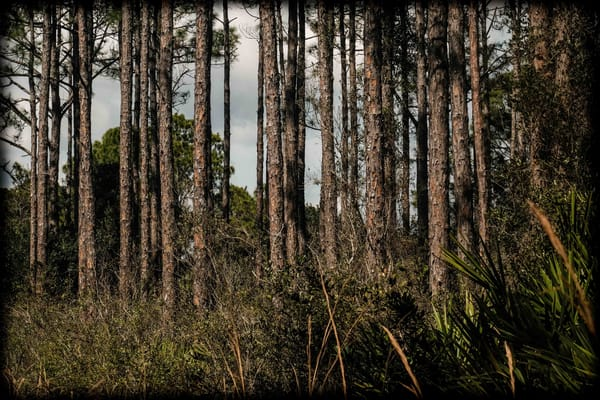 Pines In The Florida Scrub Photography Art | David Frank Photography
