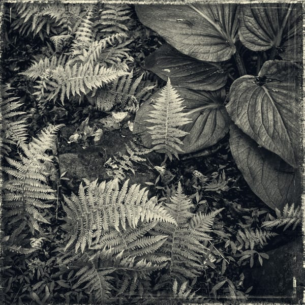 Ferns #1 Photography Art | David Frank Photography
