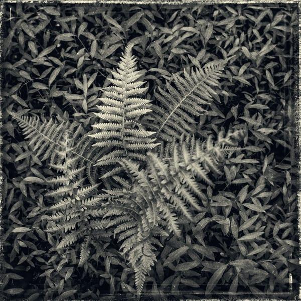 Ferns #2 Photography Art | David Frank Photography