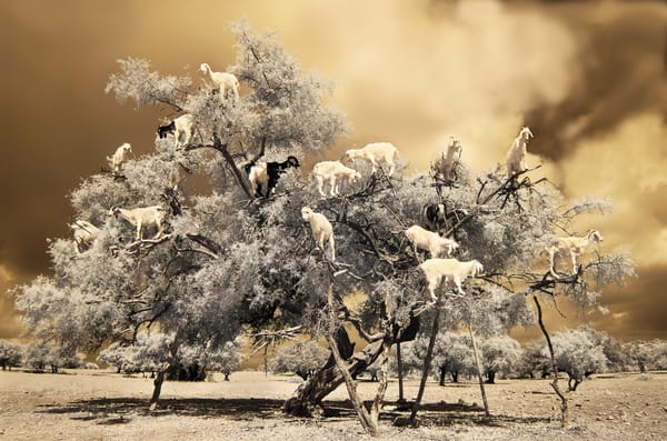 Goats In Trees  Photography Art | nancyney