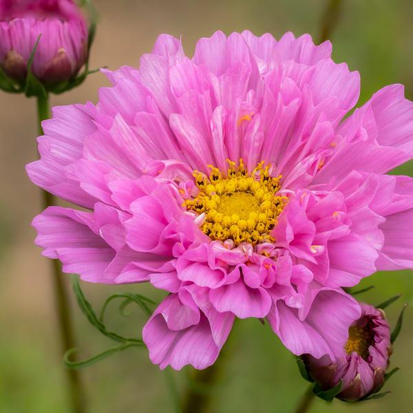 Pink Cosmos Morning Light