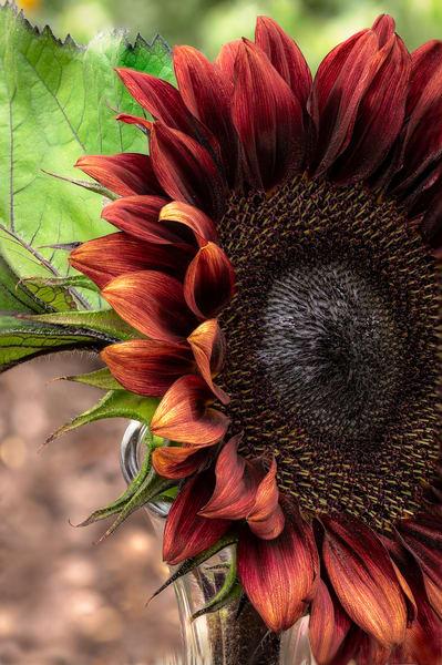 Red Sunflower Print