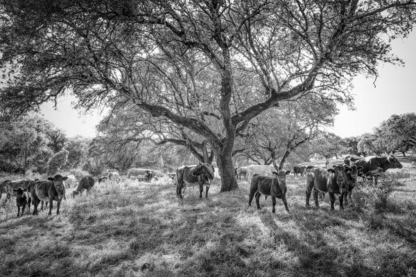 Cattle, Herdade De São Luis  Photography Art | Roberto Vámos Photography