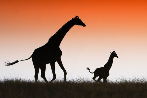 Mom With Baby Giraffe Photography Art   nancyney