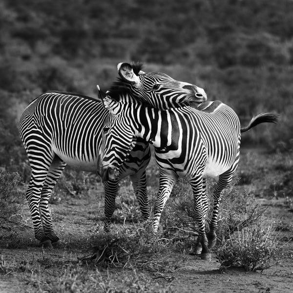 Zebra Play Photography Art   nancyney