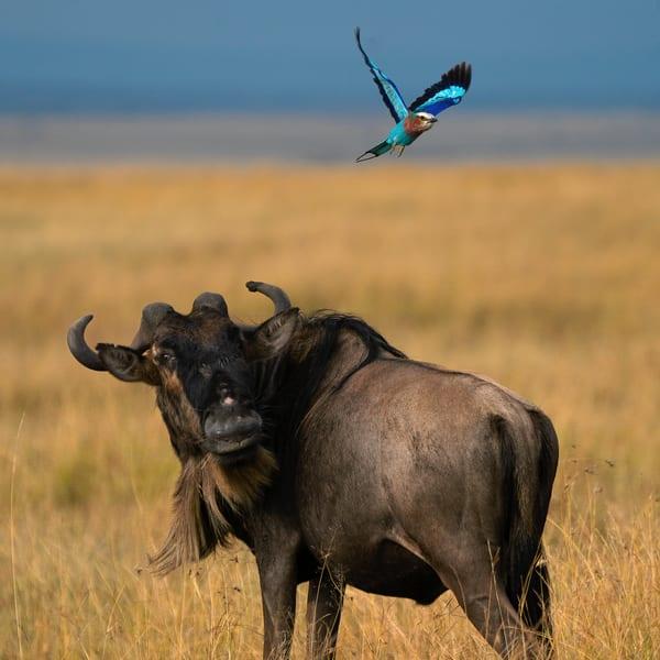Wildebeest And Bird Photography Art   nancyney