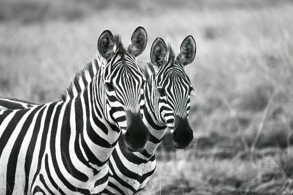 Two Zebras Photography Art   nancyney