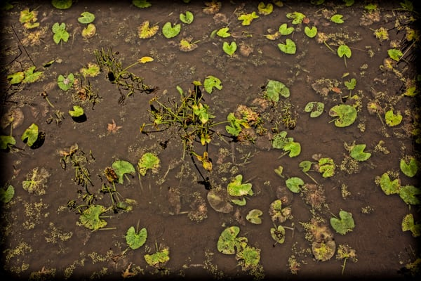 Lily Pads   No Water Photography Art | David Frank Photography