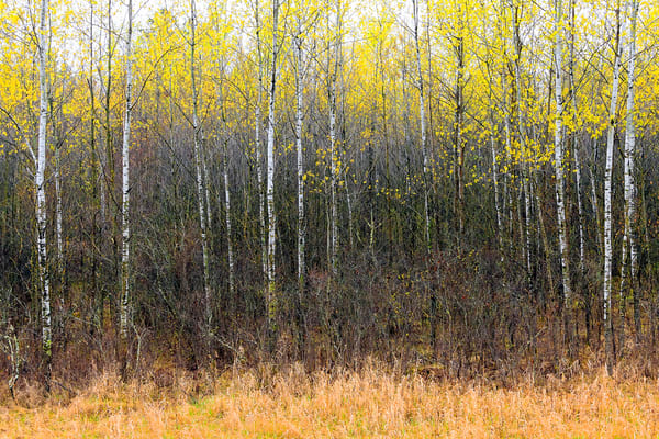 Spring Birch III by Jeremy Simonson