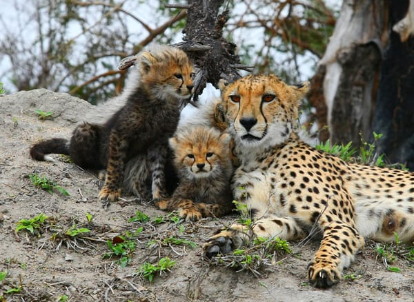 Cheetah Mom And Cubs 3 Art | DocSaundersPhotography