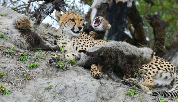 Cheetah Mom And Cubs 5 Art | DocSaundersPhotography