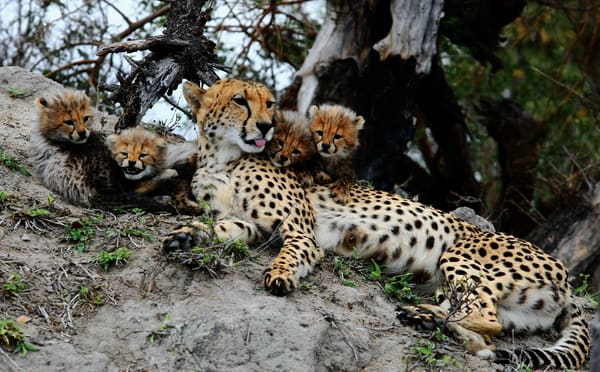 Cheetah Mom And Cubs 8 Art | DocSaundersPhotography