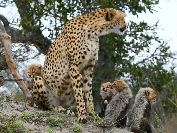 Cheetah Mom And Cubs 4 Art | DocSaundersPhotography
