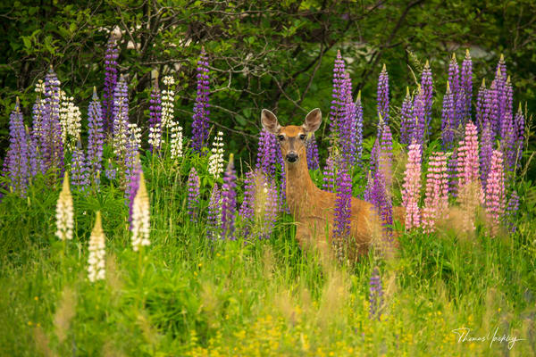 Nobody Here But Us Lupines Photography Art | Thomas Yackley Fine Art Photography