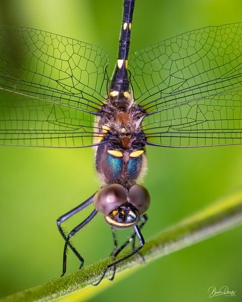 Swift River Cruiser dragonfly