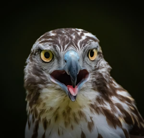 Piercing eyes of a raptor