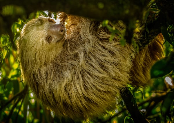 A Sloth in Costa Rica