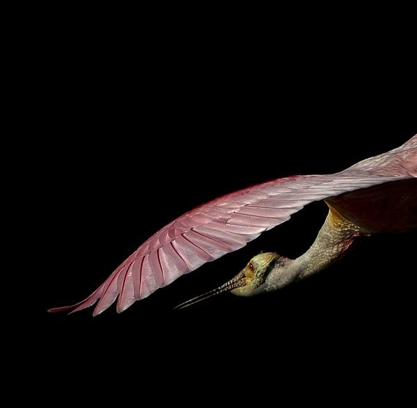 A Roseate Spoonbill