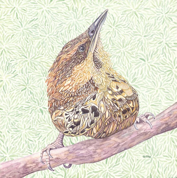 This Spotted Wren is another species in Judy Boyd's watercolor series of birds.