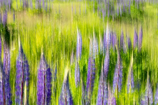 Lupine Impressions No 2 | Terrill Bodner Photographic Art
