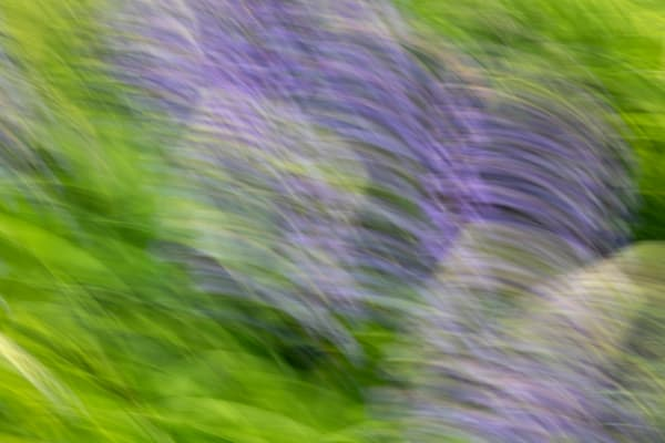 Lupine Impressions No 9 | Terrill Bodner Photographic Art