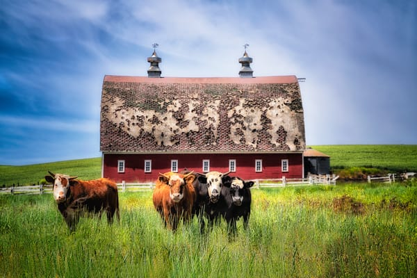Discovering Cows Photography Art | nancyney