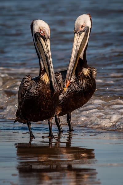Dual Pelican Portraits