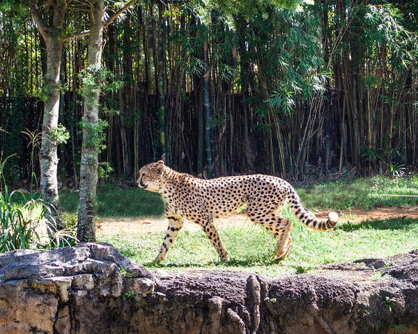 Cheetah  Photography Art | It's Your World - Enjoy!