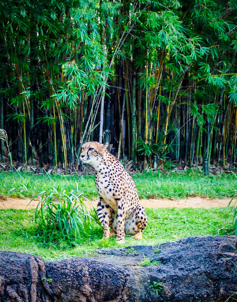 Cheetah Watching People Photography Art | It's Your World - Enjoy!