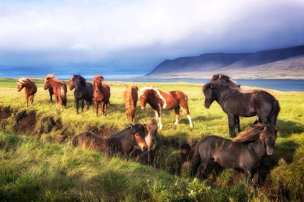 Wild Icelandic Ponies Photography Art | nancyney