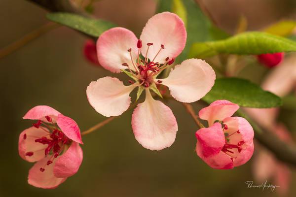 Apple Blossom  Photography Art   Thomas Yackley Fine Art Photography