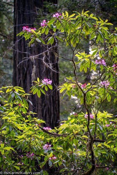Summer Bloom, Coastal Redwoods Art | The Carmel Gallery