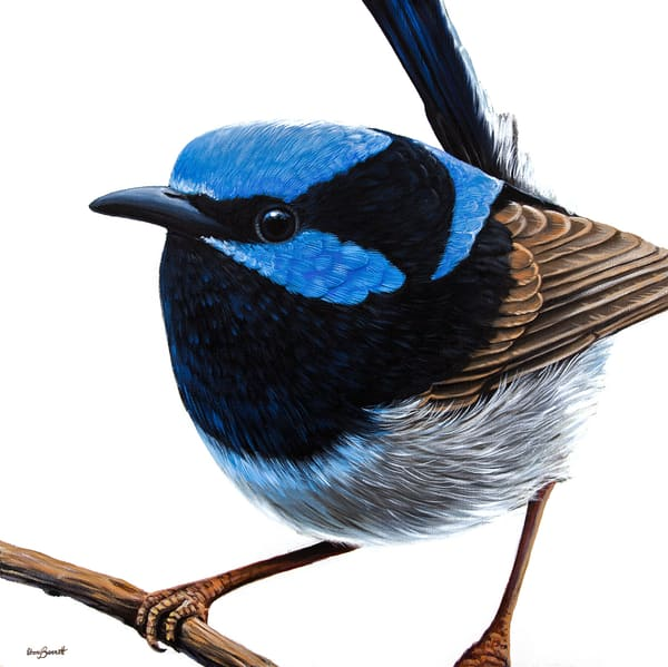 Robert - Superb Fairy Wren