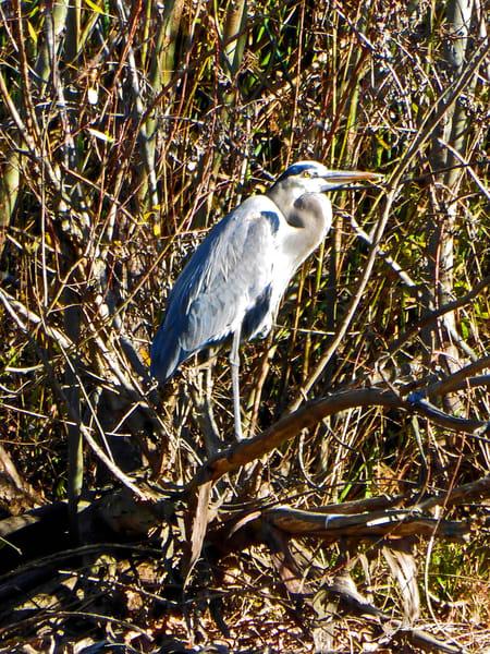 mighty great-blue-heron birds