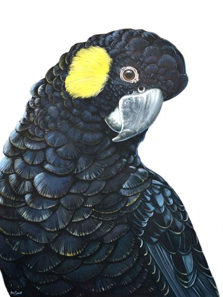 Jill - Yellow-tailed Black Cockatoo