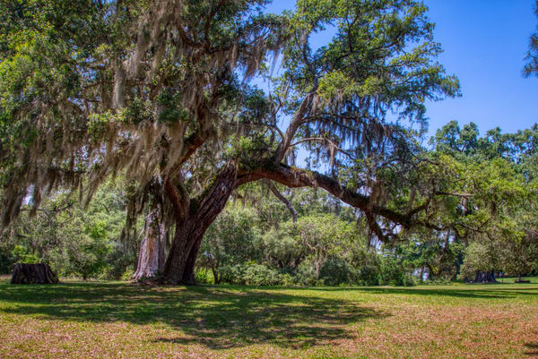 Live Oak At Brookgreen Garden Art | Willard R Smith Photography
