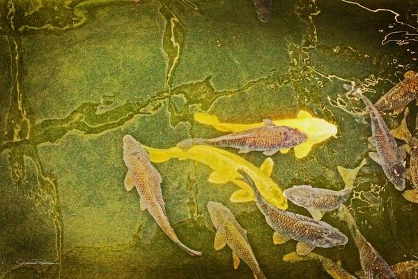 gathering koi underwater green-gold