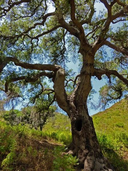 magestic oak-tree long-life landscape