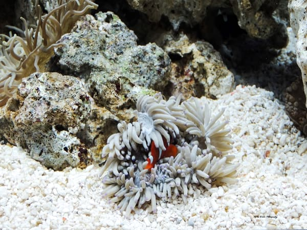 Clown Fish Photography Art | N2 the Woods Photography