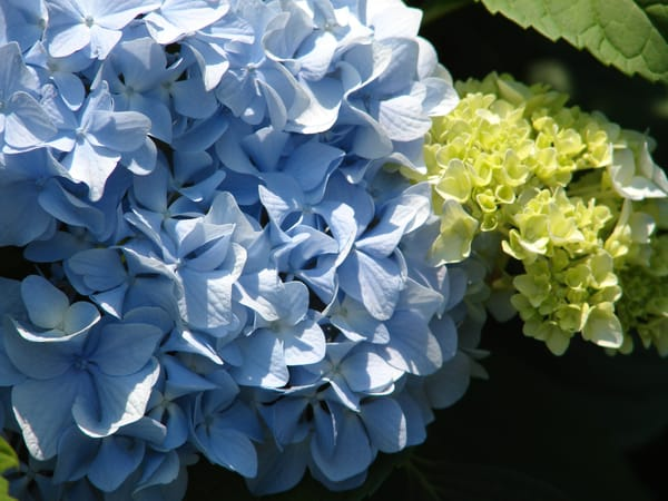 hydrangea blue flower black background yellow green dramatic macro close up