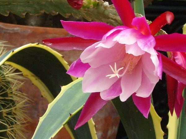 cactus flower photo close up pink red green leaves photograph macro wall art floral